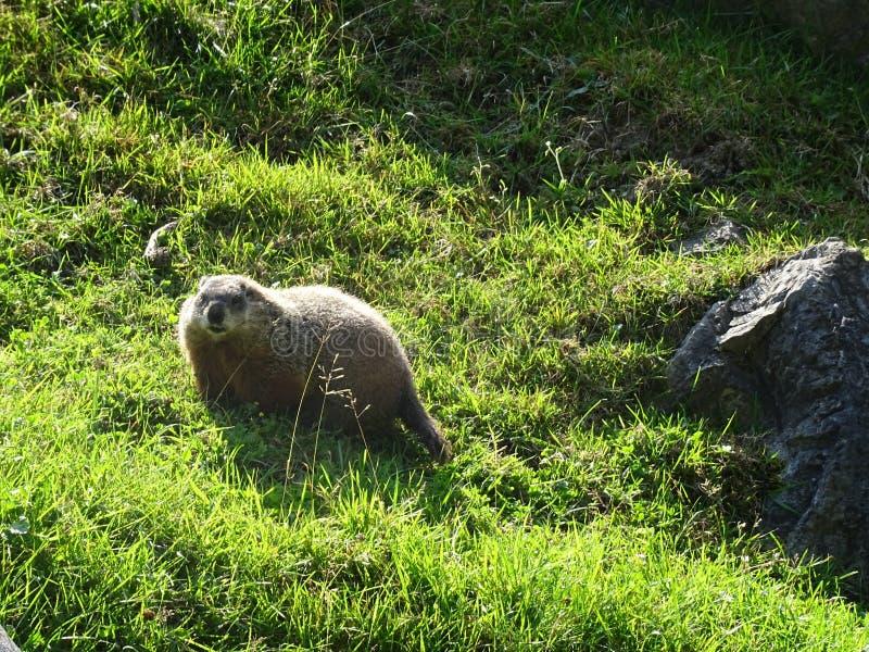 St Felicien do jardim zoológico: uma marmota foto de stock