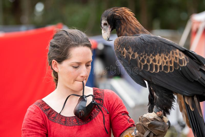 Captive wedge tailed eagle with female trainer / handler getting ready for flight exhibition at a show. St Ives, Sydney, Australia - Sept 21 2019: Captive wedge royalty free stock image