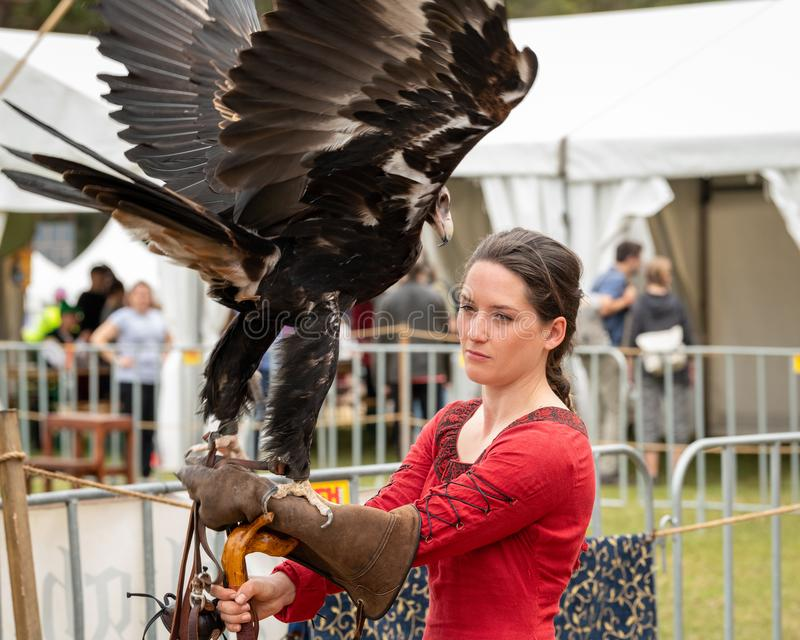 Wedge tailed eagle with wings outstretched, standing on gloved hand of female trainer / handler in red dress, getting ready for. St Ives, Sydney, Australia royalty free stock photo