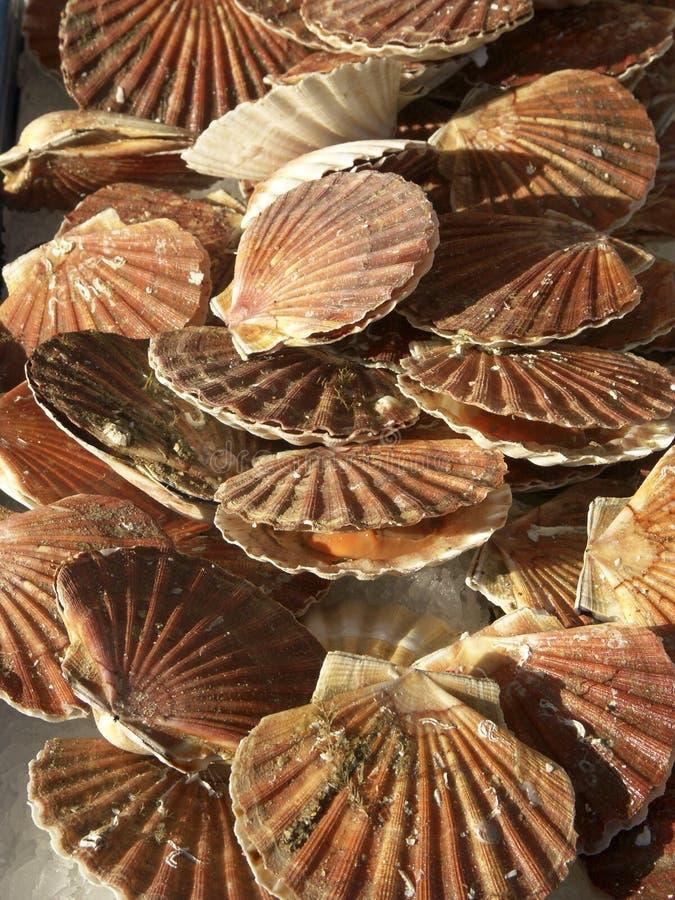 St. Jacques shells royalty-vrije stock foto's