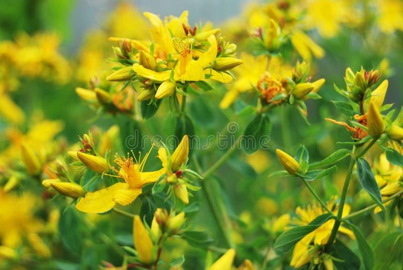 St John amarelo & x27; wort de s imagem de stock royalty free