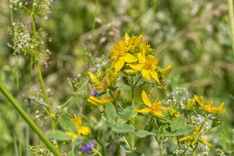 St. John`s Wort Hypericum a herbaceous plant or shrub with distinctive yellow flowers, used in medicinal preparations to treat. St. John`s Wort Hypericum a stock image