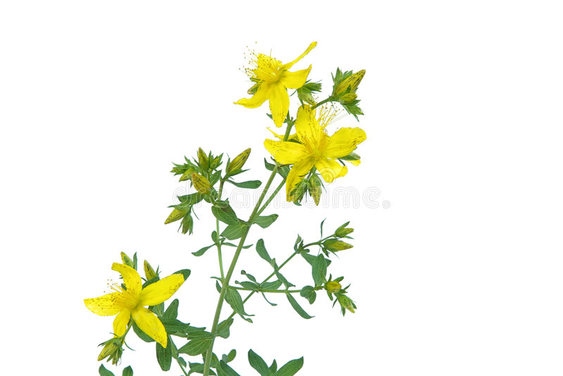 St Johns wort 05. St. Johns wort, herbal medicine royalty free stock photo
