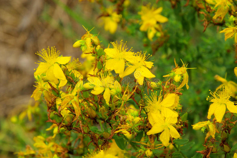 St Johns wort. A herbal plant royalty free stock image