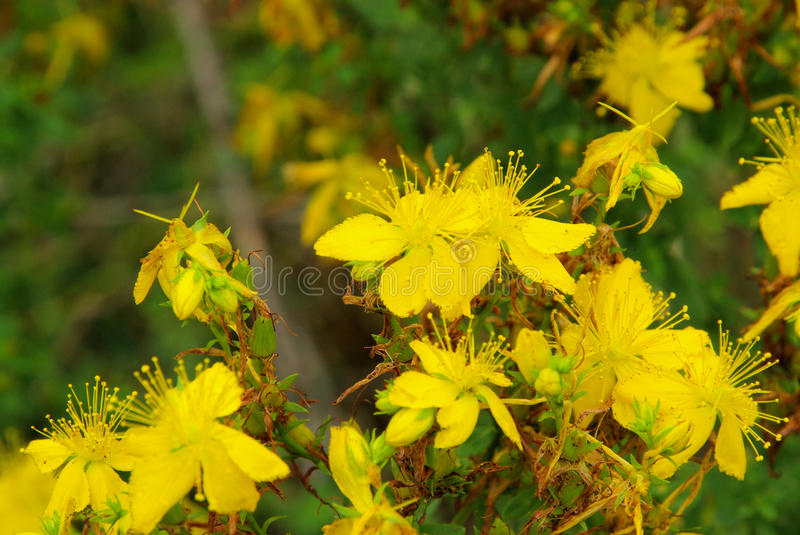 St Johns wort. A herbal flower stock photos