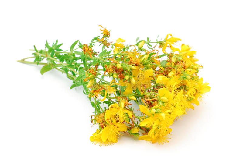 St johns wort. Isolated on white stock photo