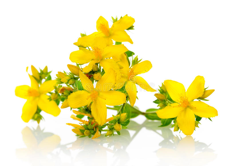 St Johns wort. Branch of St. Johns wort on white stock photography
