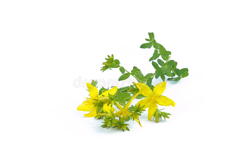 St Johns wort. A medical herb plant, St Johns wort 02 stock photography
