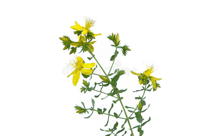 St Johns wort. A herbal plant, St Johns wort 04 stock images