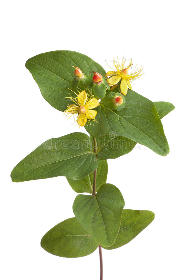 St.Johns wort in autumn. With flowers and berries on white background royalty free stock images