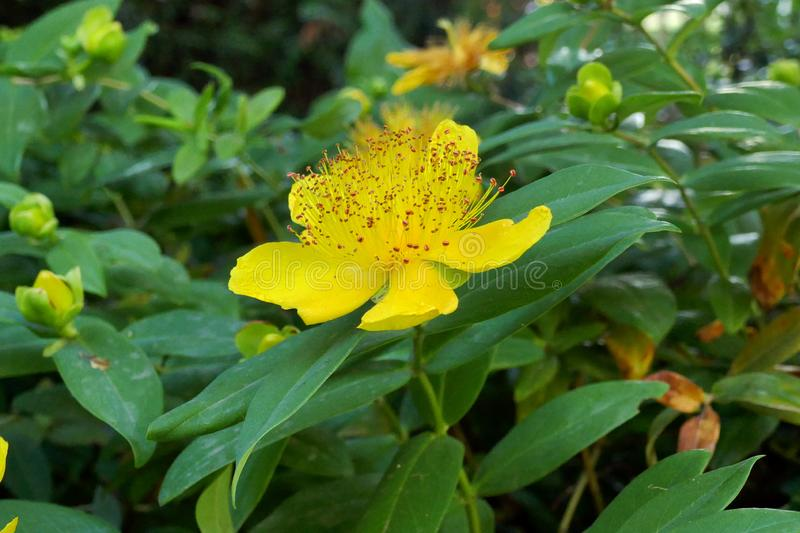 St Johns Wort. The bright yellow, fully open flower of the St Johns Wort plant, said to have properties making it suitable for the treatment of depression stock image