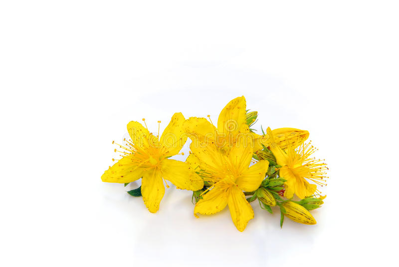 St Johns wort isolated. Herbal plant St Johns wort, isolated on white background stock images