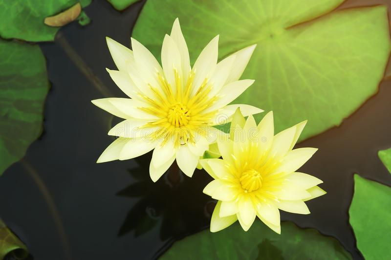 St. Louis Gold, Nymphaea Yellow Waterlily Flowers con foglie verdi che galleggiano in un pantano immagini stock