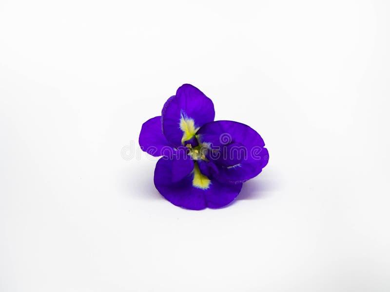 St?ng sig upp av blomman f?r fj?rils?rtan p? vit bakgrund, ?rtablommor royaltyfri foto