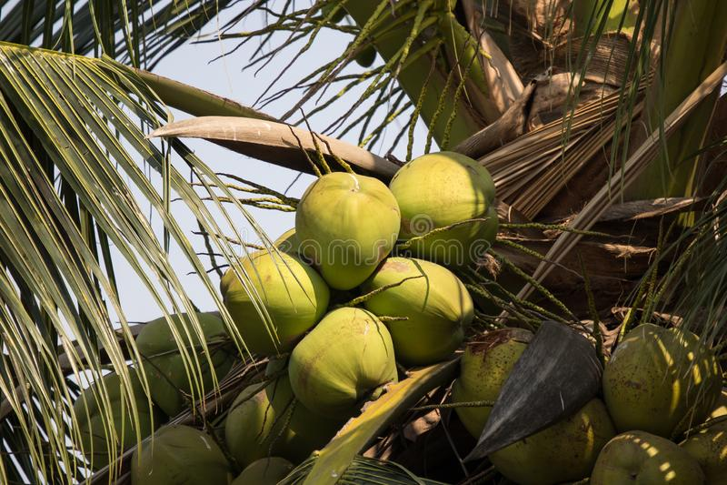 St?ng sig upp av den gr?na kokosn?ten och g?ra gr?n bladet royaltyfri fotografi