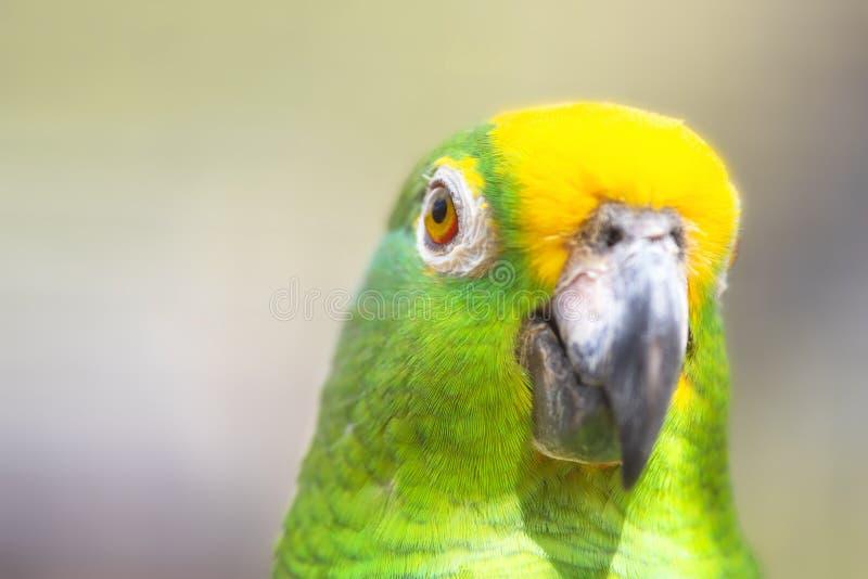 St?ng sig upp av den gula kr?nade amazon papegojan fotografering för bildbyråer
