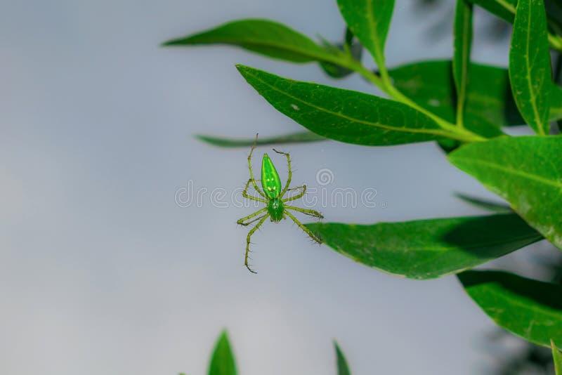 St?ng sig upp av en gr?n spindel som h?nger p? vid ett blad med en enkel tr?d arkivfoto