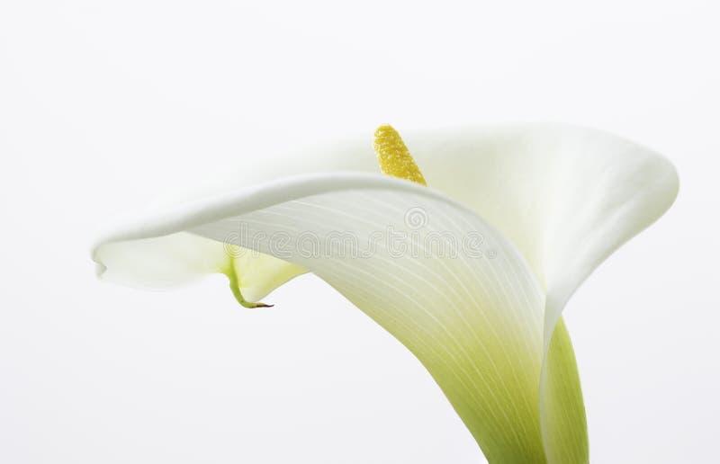 St?ng sig upp av en h?rlig blomma f?r Callaliljor som isoleras p? den vita bakgrunden royaltyfri bild