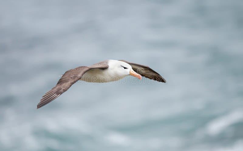 St?ng sig upp av enbrowed albatross i flykten arkivfoto
