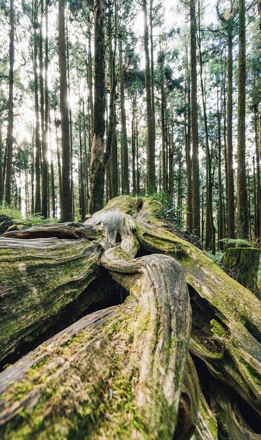 St?ng sig upp av j?tte rotar av l?nge levande s?rjer tr?d med mossa i skogen i den Alishan medborgaren Forest Recreation Area i C arkivfoto