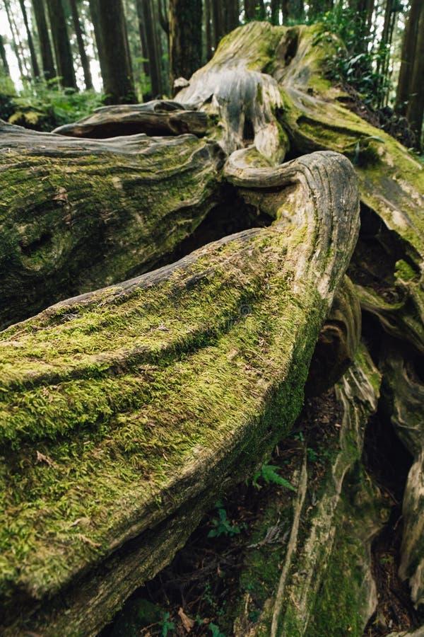 St?ng sig upp av j?tte rotar av l?nge levande s?rjer tr?d med mossa i skogen i den Alishan medborgaren Forest Recreation Area i C royaltyfria bilder