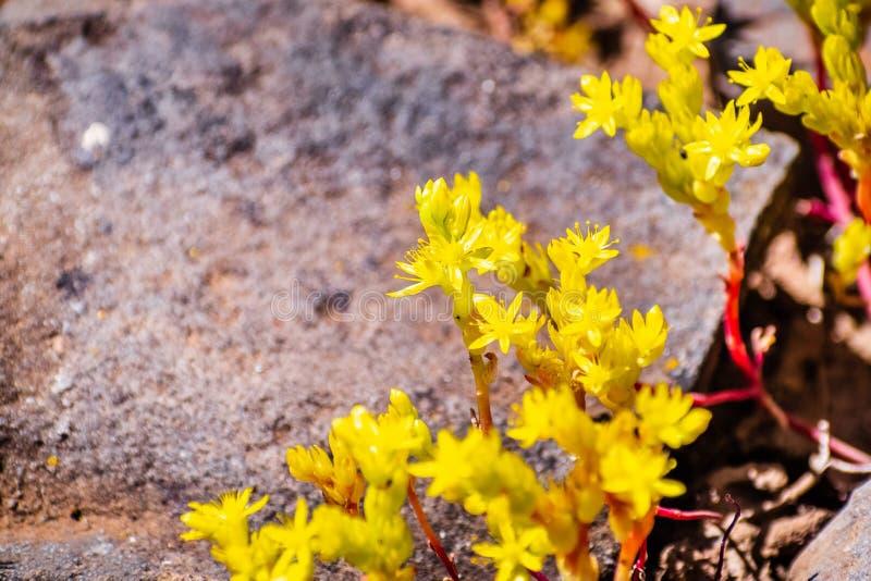 St?ng sig upp av toppiga bergskedjan ?tl?jefetknopp den Sedella som pumilaen som blommar p? basaltet, vaggar av ekologisk reserv  royaltyfri bild