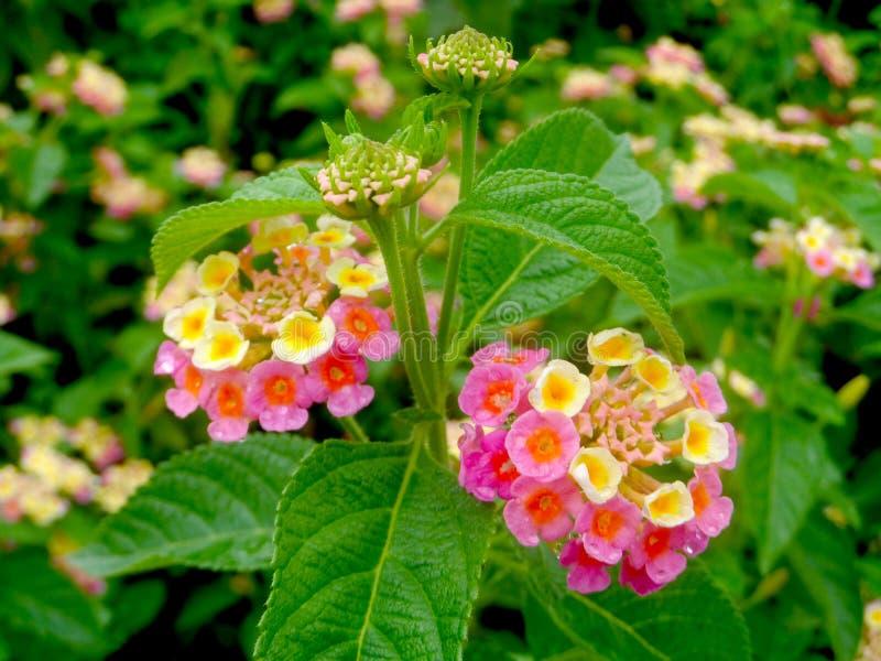 St?ng sig upp h?rliga rosa f?rger och gulna Lantanacamarablomman som blommar i en tr?dg?rd arkivfoto