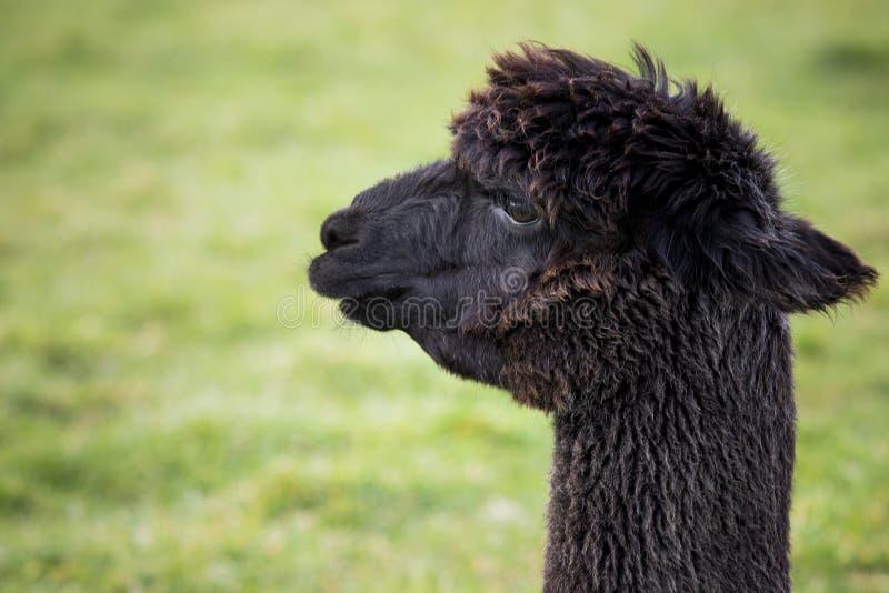 St?ng sig upp huvudskott av svart alpaca i gr?nt f?lt arkivfoto