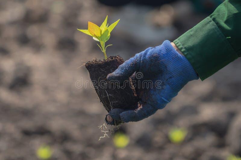 St?ng sig upp med den selektiva fokusen p? en v?xtplanta den m?nskliga handen planterar plantav?xten royaltyfria foton