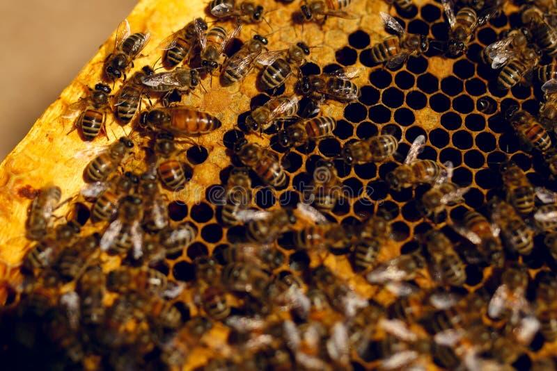 St?ng sig upp sikt av de funktionsdugliga bina p? honungceller royaltyfri bild