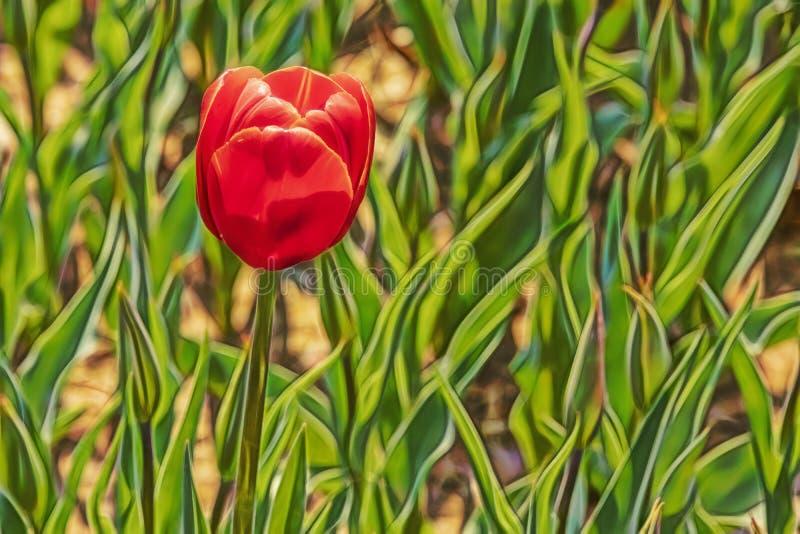 St?ng sig upp tulpan i natur royaltyfria foton