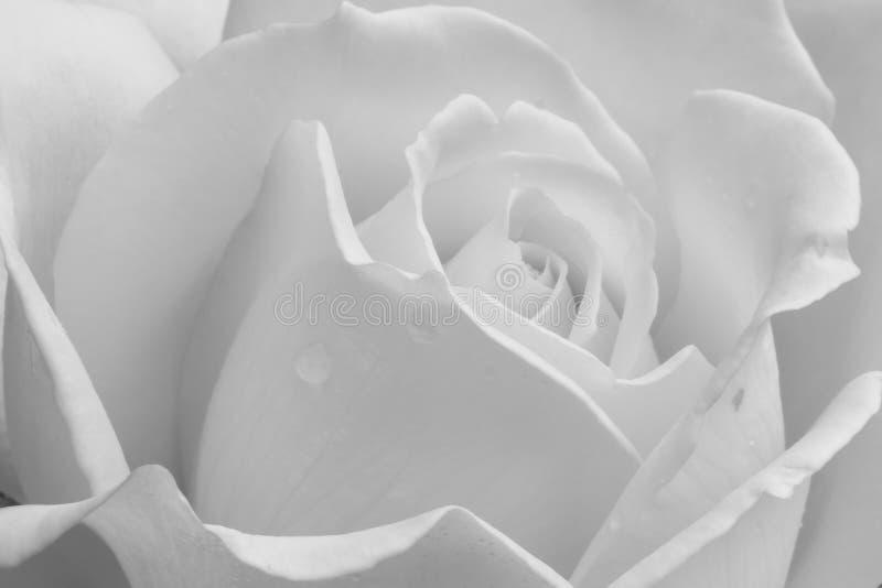 """St. Patrick"" Hybrid Tea Rose. royalty free stock photography"