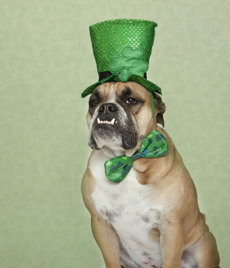 St. Patrick's Day Bulldog Portrait. An English Bulldog posing for his St. Patrick's Day portrait in his hat and bow tie stock images