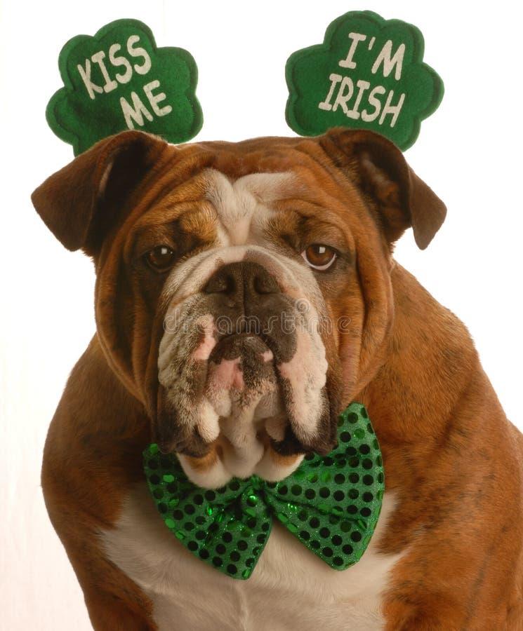 St. Patrick's Day dog. St. patricks day - english bulldog wearing kiss me im irish headband