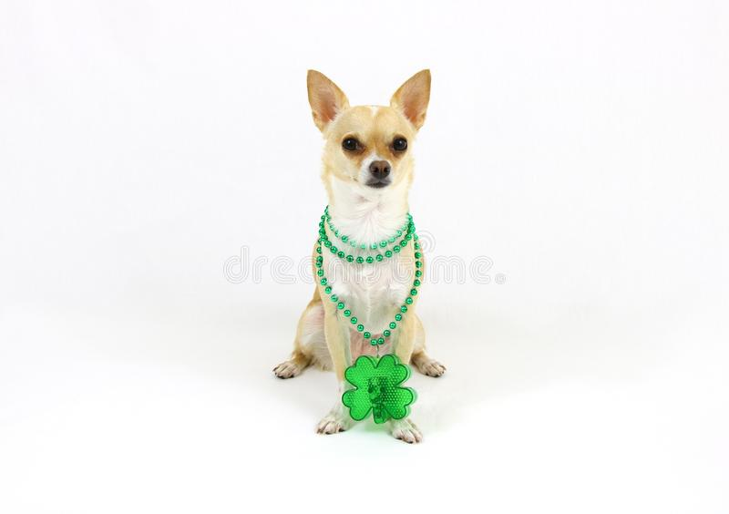 Wonderful Chihuahua Canine Adorable Dog - st-patricks-day-chihuahua-white-background-cute-dog-standing-front-clover-leaf-57687232  Gallery_968830  .jpg