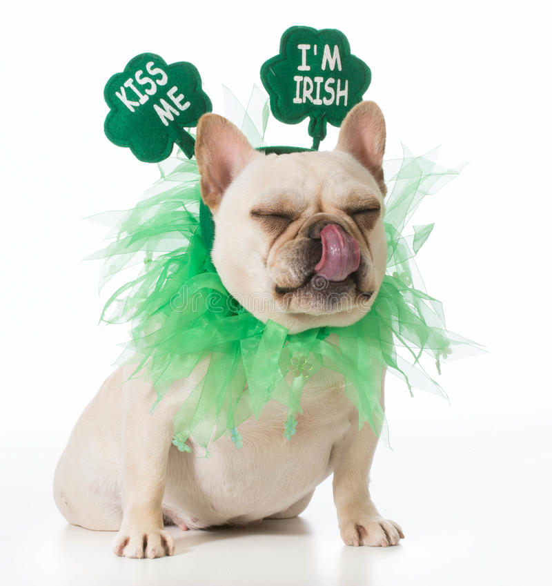 St Patricks Day dog royalty free stock photos