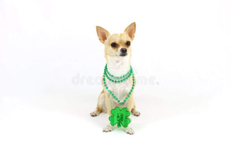 St Patricks dnia chihuahua fotografia royalty free