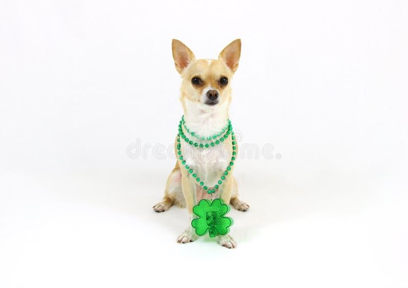 St Patricks dnia chihuahua na Białym tle fotografia stock