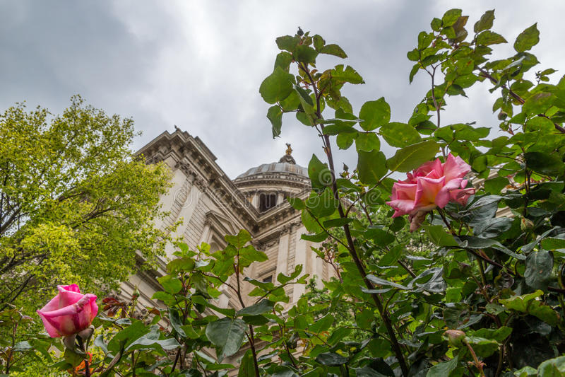 St Pauls Rose stock images