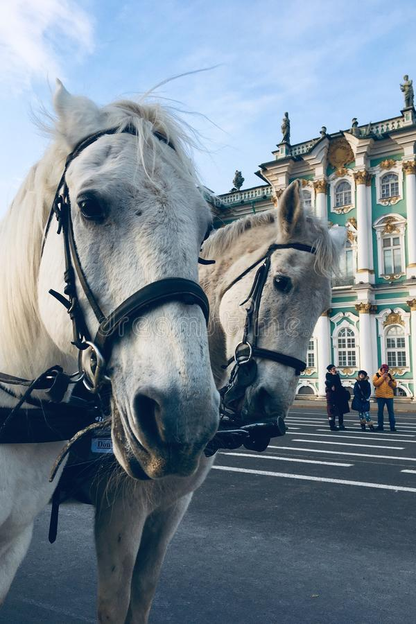 St Petersbourg, Russie - 28 11 19 : Deux chevaux armés se ferment  images libres de droits