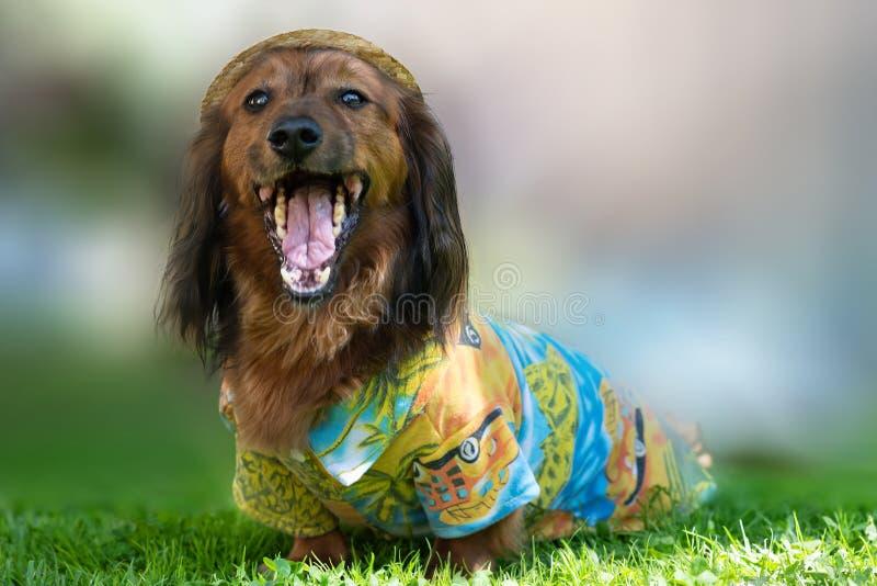 St Petersburg, Rusia - 26 de mayo de 2018: Ddachshund de pelo largo marrón feliz imagen de archivo