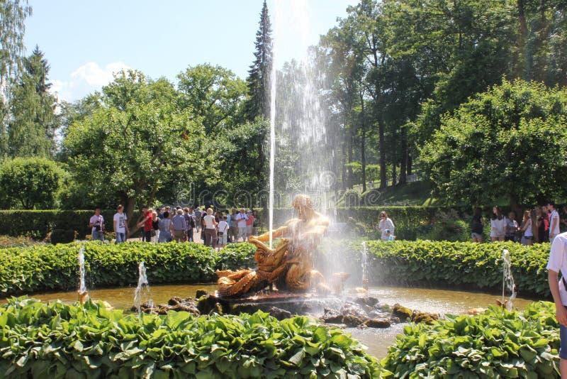 St Petersburg Ryssland - Juli 8, 2014: Springbrunnar i den Peterhof peterhofspringbrunnen Samson arkivfoton