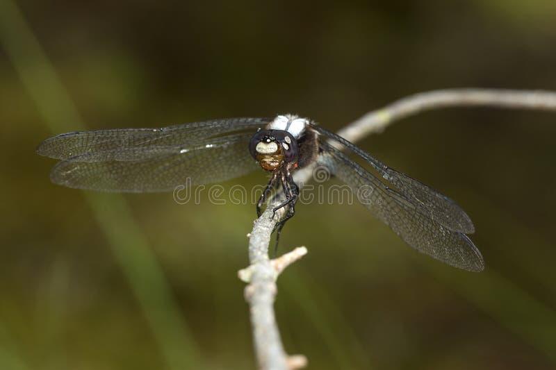 Stać na czele cielesny dragonfly na gałąź w Sunapee, Nowy Hamps zdjęcia royalty free