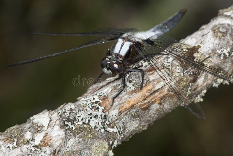 Stać na czele cielesny dragonfly na gałąź w Sunapee, Nowy Hamps obraz stock
