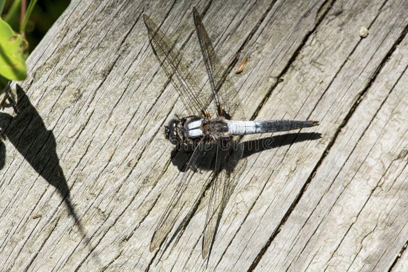 Stać na czele cielesny dragonfly na New Hampshire boardwalk zdjęcia royalty free