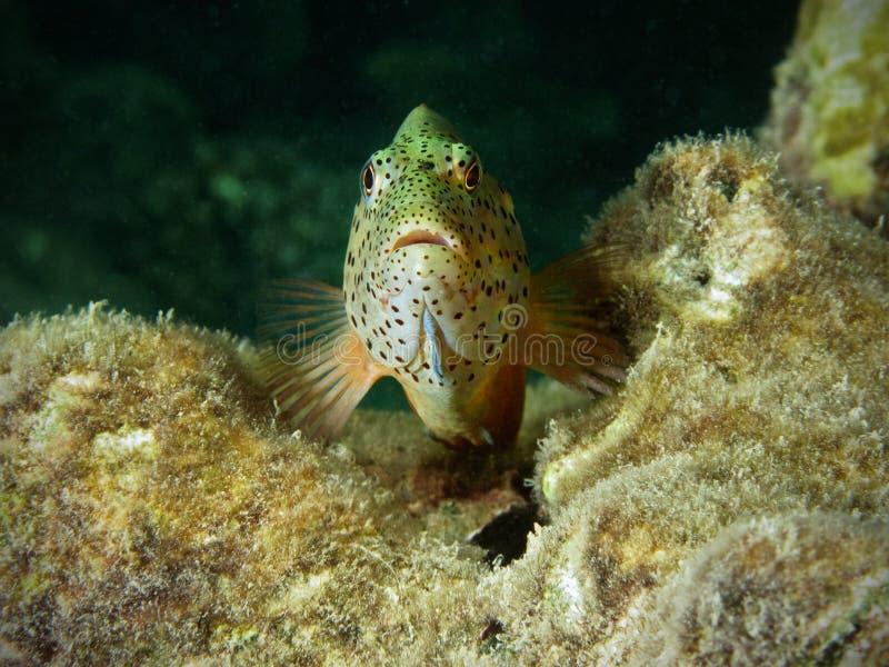 stać na czele hawkfish widok zdjęcie royalty free
