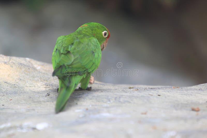 Stać na czele parakeet obraz stock
