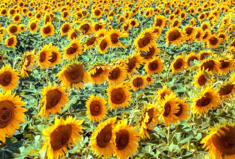 Stałe pole słoneczników zdjęcia stock