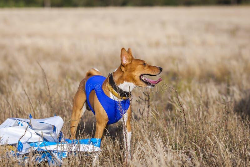 Stażowy goniący Basenji psa ślad biega przez pole zdjęcie stock