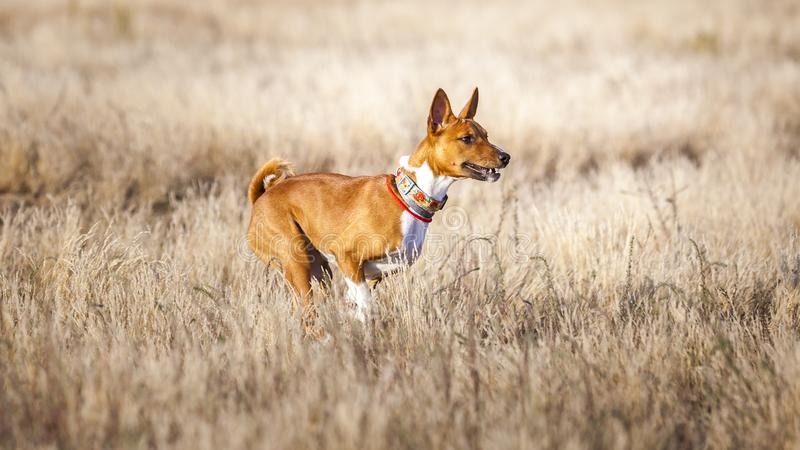 Stażowy goniący Basenji psa ślad biega przez pole zdjęcie royalty free